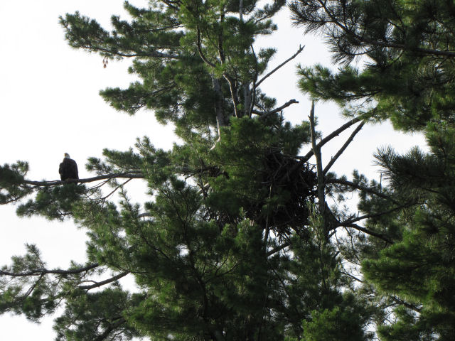 bald eagle on white pine branch