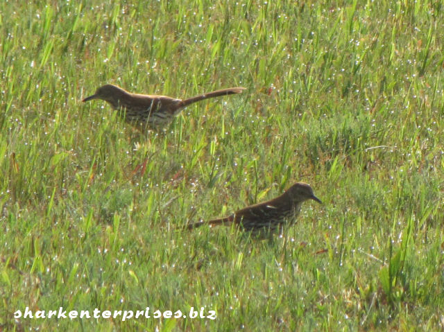 brown thrashers in a lawn