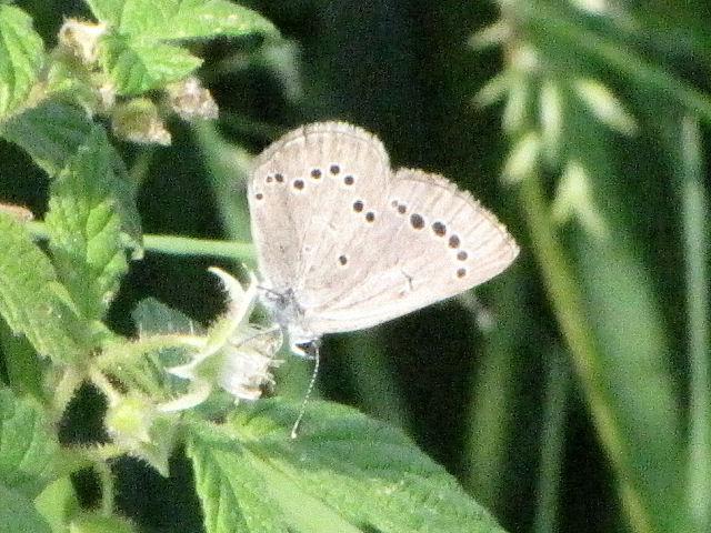 Appalachian Silvery Blue