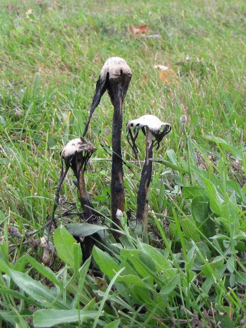 self-digested shaggy mane mushroom