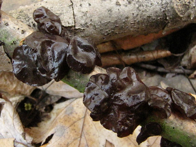 black witch's butter fungus