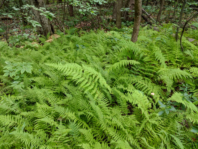 hay-scented fern growth habit