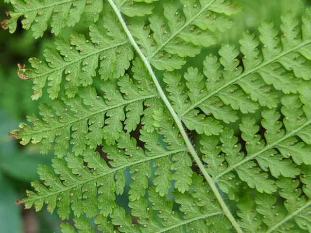 hay-scented fern sori