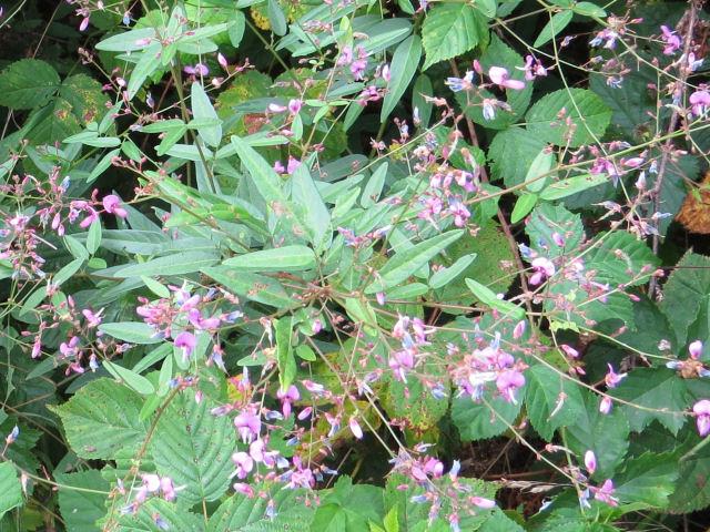 panicled tick trefoil leaf stalks