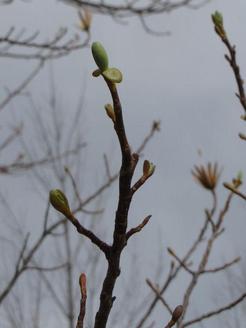 tulip tree bud