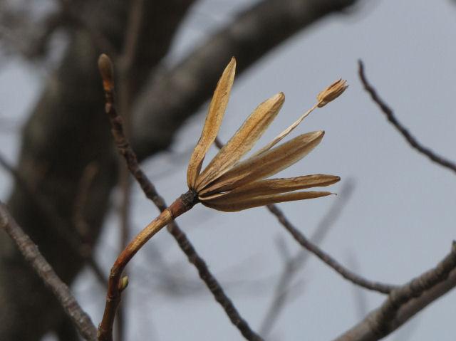 tulip tree seed pod
