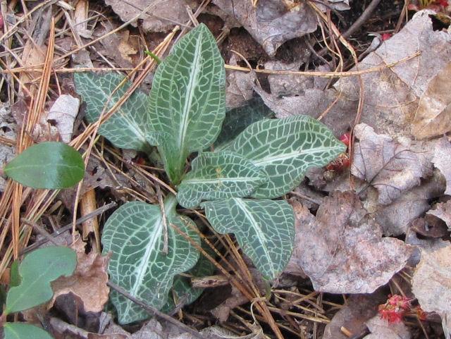downy rattlesnake plantain leaves