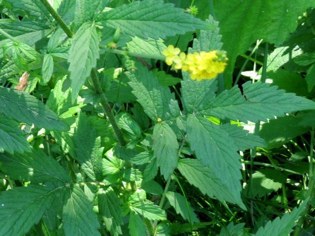 tall hairy agrimony