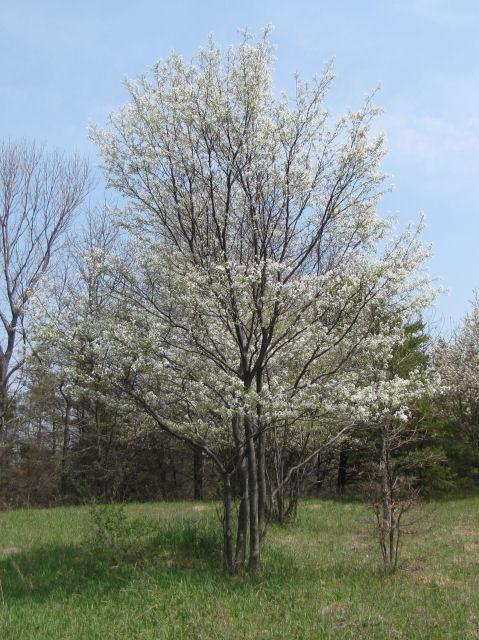 Botany Family Rosaceae Genus Amelanchier Species Laevis