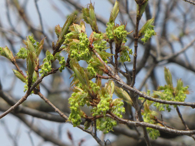 sugar maple flowers