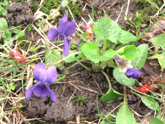 common blue violet