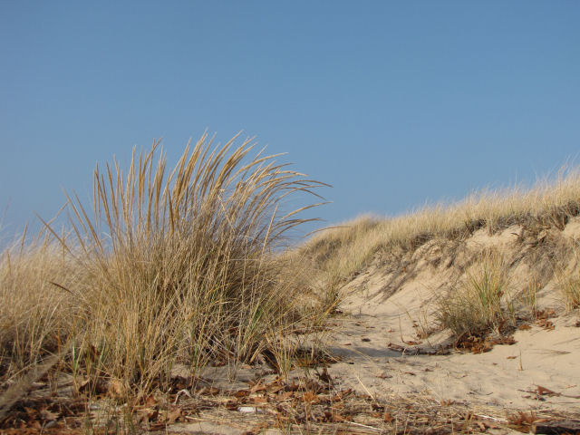 beach grass